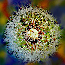 Story Of Dandelion Life by Marija Jilek - Nature Up Close Other plants ( life, seesd, dandelion, nature, colors, poplants, head )