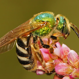 A Gem of a Bee by Barbara Thurlow - Animals Insects & Spiders ( macro, nature, bee, insect, animal )