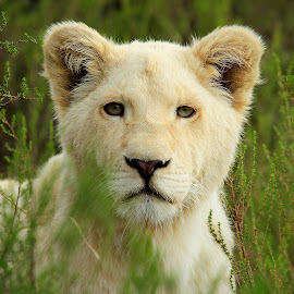 White Lion Cub by Lloyd Seeber - Animals Lions, Tigers & Big Cats ( lion, east london, white, inkwenkwezi, cub )