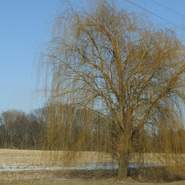 Weeping Willow in Winter by Judy Soper - Novices Only Landscapes ( field, winter, yellow, willow )