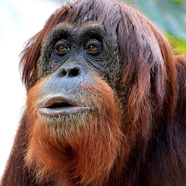 Orangutan by Milton Moreno - Animals Other Mammals ( orangutangs, animals, monkeys, ape, apes, orangutang, monkey,  )