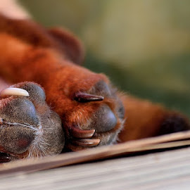 Sleepy Feet by Crys Griffin - Animals - Dogs Portraits ( animals, pets, nikon, dog, sleep )