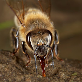Drinking Bee by Goran Šafarek - Animals Insects & Spiders ( bee, drava, croatia, insect )