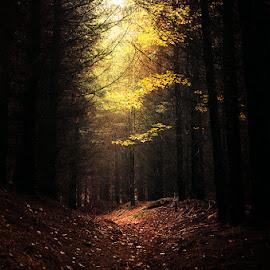 Darkest Light by Zsolt Zsigmond - Landscapes Forests ( autumn, fall, dark, forest, yellow, light )