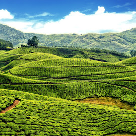 Munnar Tea Estate by Shameer Kamarudheen - Landscapes Prairies, Meadows & Fields ( hills, greenery, tea estate, munnar )