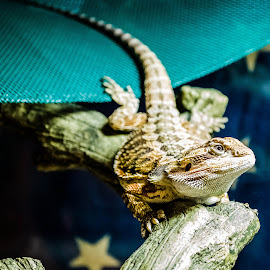 My little Dragon TroyElla by Todd Sowels - Animals Reptiles ( pet, dragon, reptile )