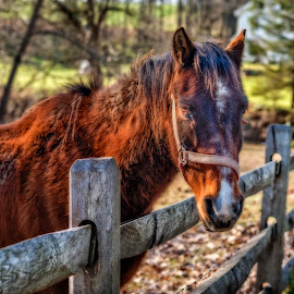 The Stare Down by Linda Karlin - Animals Horses ( animals, horese )