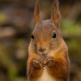 Squirrel by Rita Birkeland - Animals Other ( ekorn, wildlife, nikon, cute, squirrel, norway,  )