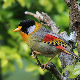 Silver-Eared Mesia by Hafiz Zaman - Animals Birds