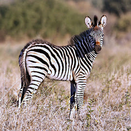Baby Zebra by Pieter J de Villiers - Animals Other Mammals ( mammals, animals, south africa, baby, zebra, mapungubwe game reserve )