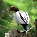 Australian Wood Duck (male)