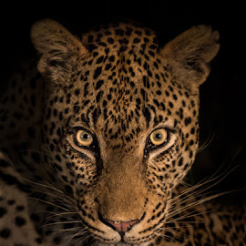 Intimidation by Ben Coley - Animals Lions, Tigers & Big Cats ( big cats, wildlife, big 5, africa, leopard,  )