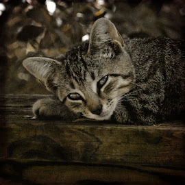 Tuckered out by Laura Russell - Animals - Cats Portraits ( low contrast, cat, shorthair, high quality, in focus, domestic,  )