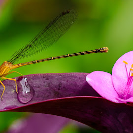 Damselfly by Carol Plummer - Animals Insects & Spiders ( water, nature, damselfly, drop, insect, flower,  )