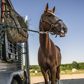 Ready for the Show. by Blaine Linton - Animals Horses ( horses, horse, horse show, equestrian, animal )