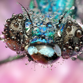 Blue by Ondrej Pakan - Animals Insects & Spiders ( macro, damselfly, dew, bug, dew drops, dragonfly, insect,  )