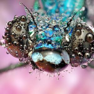 14 motylica na fialovom zvrchu rosa.jpg
