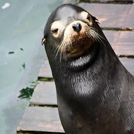 How YOU doin'? by Angela Eggers-Tolleth - Animals Sea Creatures ( sea lion, funny, ocean, dock, animal )