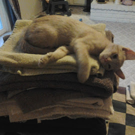 warm towels by Patricia Johnson - Animals - Cats Playing
