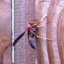 Carolina Red Wasp