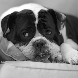 Chumley by Martha Pope - Animals - Dogs Portraits ( bulldog, shelter, rescue, puppy, dog )