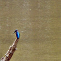 small blue kingfisher