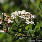 Toyon Blossoms