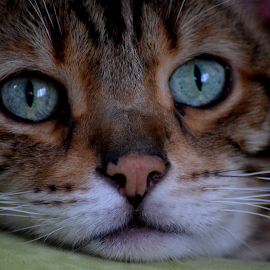Storm's Eyes by Lin Fauke - Animals - Cats Portraits ( cats, kitten, cat, pet, pets, whiskers, eyes )