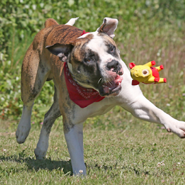 Flying pig by Mia Ikonen - Animals - Dogs Playing ( toy, american bulldog, finland, catching, running )