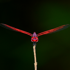 Dragaon Fly by Pradeep Krishnan - Animals Insects & Spiders ( dragonfly )