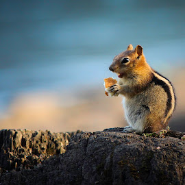 Tinky Tots 1 by Vanessa Venatrix - Animals Other Mammals ( food, chipmunk, eating, wildlife, adorable, eat, rock, rodent, cute, animal )