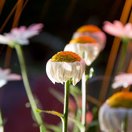 by Erik Graham - Nature Up Close Gardens & Produce ( daisy, spark, fire )