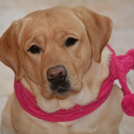 Teagan by Donna Sepe - Animals - Dogs Portraits ( labrador retriever, animals, dog, labrador, yellow lab,  )