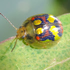 Glorious leaf beetle