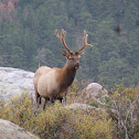 Elk (immature male)
