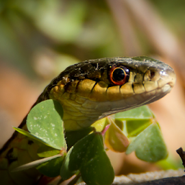 Snnnnnnnake ..... by Christine Guay - Animals Reptiles ( wild, snake, green, wildlife, big eye )