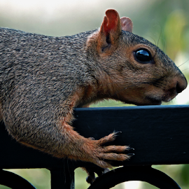 Shhhh, I'm inching my way by Shyamala Rao - Animals Other Mammals ( hill country texas, backyard, squirrel )