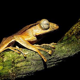 Tree Frog in Sarawak, Malaysia by Lily Chang - Animals Amphibians ( macro, frog, tree frog, amphibian, changlam, sony a7r, kubah national park, sarawak, borneo frog, animal )