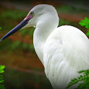 The little egret