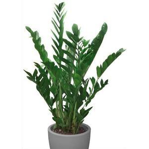 Acheter mt international plante verte zamioculcas hauteur 90 110 diam tre 24 cm antibes for Plante 90 cm