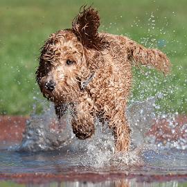 splash by Michael  M Sweeney - Animals - Dogs Puppies ( puppy, michael m sweeney, run, dog, chocolate labradoodle )