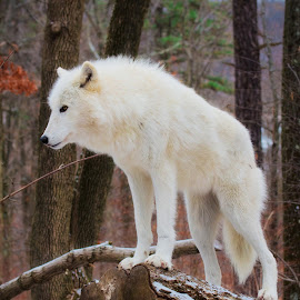 Tala's territory by Jamie Cournoyer - Animals Other Mammals ( arctic wolf, wolf, preserve )