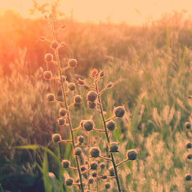 Sunlit Beauty by Rena Spitzley - Nature Up Close Other plants ( radiant, up close, nature, sunset, beauty in nature )