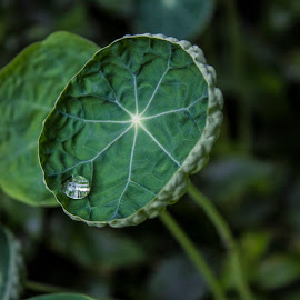 Kappertjie leaf with water drop by Ruan Erasmus - Nature Up Close Leaves & Grasses ( #waterdrop #macro #plant #leaf #micro,  )
