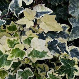 Creeping Ivy by Martha van der Westhuizen - Instagram & Mobile iPhone ( plant, pattern, texture, creeper, ivy, leaves )