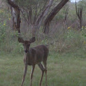 Texas White-tailed Deer (Doe)