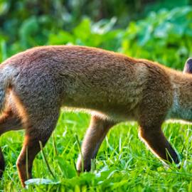 Fox on the run by Stanislav Horacek - Animals Other