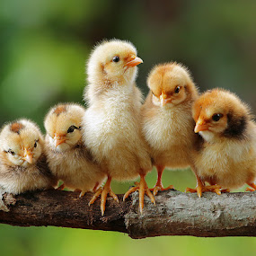 Group portrait of cute chicks by Prachit Punyapor - Animals Other ( chicken, babies, chick, new born, family, feature, group, birds, animal )