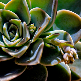 Succulent by Mari du Preez - Nature Up Close Other plants ( plant, succulent, green, nature up close, flower bud )