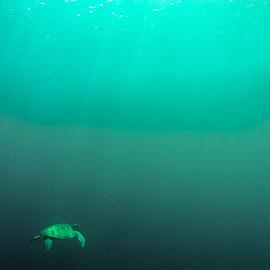 Sipadan Turtle by Łukasz Sowiński - Animals Sea Creatures ( malezja, malaysia, sipadan, turtle )